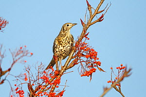 Mistle Thrush (Turdus viscivorus) perched in of Rowan Tree to feed on berries in industrial estate, Deeside, North Wales, UK, November - Alan Williams