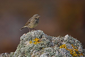 Rock Pipit (Anthus petrosus) on rock by Loch Gruinart Islay Scotland, UK, October  -  Alan Williams