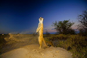 Meerkat (Suricata suricatta) standing and keeping watch while another excavates a burrow in soft sand before disappearing underground for the night. Makgadikgadi Pans, Botswana, April.  -  Neil Aldridge