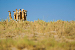 Alarmed by the presence of a predator, a group of meerkats (Suricata suricatta) or suricates, stand together on high ground to survey their territory on the edge of Makgadikgadi Pans National Park, Bo... - Neil Aldridge