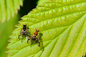 Male and female Celery flies (Euleia heraclei) performing zig-zagging courtship dance on a leaf, Wiltshire garden, UK, April.  -  Nick Upton