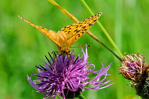 Head on view of a Dark green fritillary butterfly (Argynnis aglaja) feeding on Greater knapweed flower (Centaurea scabiosa) with long proboscis, chalk grassland meadow, Wiltshire, UK, July  -  Nick Upton