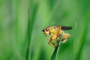 Male Yellow dung fly (Scathophaga stercoraria) on the look out for fly prey from a grass blade, Wiltshire meadow, UK, April.  -  Nick Upton