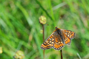 Marsh fritillary butterfly (Euphydryas aurinia) resting on dead plant stem in a chalk grassland meadow, Wiltshire, UK, May.  -  Nick Upton