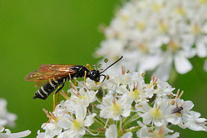 Stem sawfly (Hartigia xanthostoma), a nationally rare species in the UK, feeding on Common hogweed flowers (Heracleum sphondylium) in a chalk grassland meadow, Wiltshire, UK, June.  -  Nick Upton