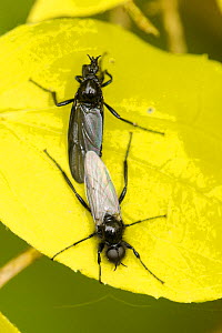 Sexually dimorphic St. Mark's fly / March fly (Bibio marci) pair mating; males have much larger eyes and clear wings, Wiltshire garden, UK, May.  -  Nick Upton