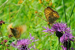 Dark green fritillary butterfly (Argynnis aglaja) feeding on Greater knapweed flower (Centaurea scabiosa) as another takes off in the background, chalk grassland meadow, Wiltshire, UK, July  -  Nick Upton