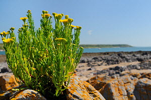 Golden samphire (Inula crithmoides) clump flowering on limestone rock outcrop just above the high tide line, Port Eynon, Gower Peninsula, Wales, UK, July.  -  Nick Upton
