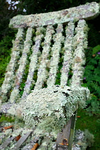 Garden chair well covered with extensive growths of lichen, including filamentous forms (Usnea sp.), (Evernia prunastri) and Foliose (Flavoparmelia caperata), Cornwall, UK, August. - Nick Upton