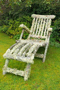 Garden chair well covered with extensive growths of lichens including Oakmoss (Evernia prunastri) filmanetous forms (Usnea esperantiana and other Usnea spp) and a foliose lichen (Flavoparmelia caperat... - Nick Upton