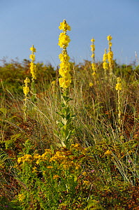 Aaron's rod (Verbascum thapsus) flowering in profusion on a stable coastal sand dune among grases, Bracken and other plants, Gower Peninsula, Wales, UK, July. - Nick Upton