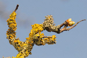Common orange lichen (Xanthoria parietina) with many cup-shaped apothecia fruiting bodies, growing on Hawthorn branch (Crataegus monogyna) in early spring, Wiltshire, UK, March. - Nick Upton