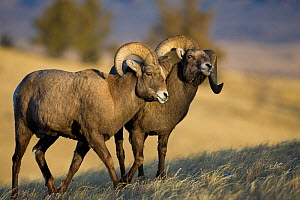 Rocky Mountain Bighorn Sheep (Ovis canadensis) males, horning each other in dominance display. Whiskey Mountain Sheep ranger, Wind River Mts near Dubois, Wyoming. - Jeff Vanuga