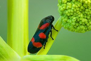 Black and red froghopper (Cercopis vulnerata) East of Monte St Angelo, Gargano, Italy, April - Robert Thompson