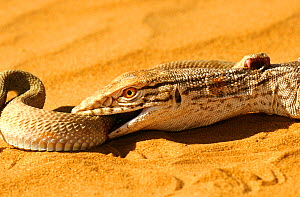 Desert monitor (Varanus griseus) trying to ingest a Sand Viper (Cerastes vipera) a venomous species which is biting the Desert monitor, near Chinguetti, Mauritania Controlled conditions - Daniel Heuclin