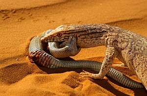 Desert monitor (Varanus griseus) trying to eat a Sand Viper (Cerastes vipera) a venomous species which is biting the Desert monitor, near Chinguetti, Mauritania Controlled conditions - Daniel Heuclin