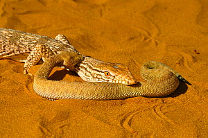 Desert monitor (Varanus griseus) attempting to eat  a Sand Viper (Cerastes vipera) a venomous snake which is defending itself by biting the monitor's neck, near Chinguetti, Mauritania - Daniel  Heuclin