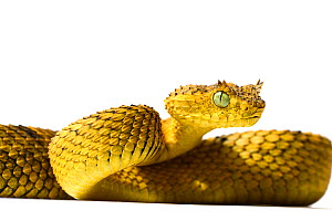 Usambara bush Viper (Atheris ceratophora) captive from Tanzania, vulnerable species - Daniel Heuclin