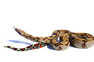 Red-tailed Boa constrictor (Boa constrictor constrictor) captive from South America  -  Daniel Heuclin