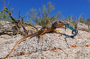 Sonoran collared Lizard (Crotaphytus nebrius) eating a Ornate tree Lizard (Urosaurus ornatus) Organ Pipe Cactus National Monument, Arizona, USA, April. Controlled conditions - Daniel Heuclin