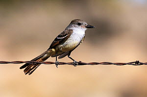 Ash-throated Flycatcher (Myiarchus cinerascens)  perched on wire, Mohave National Preserve. California, May  -  Daniel Heuclin