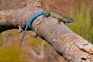 Ornate Schott's tree Lizard (Urosaurus ornatus schotti) on Branch, Organ Pipe Cactus National Monument. Arizona, USA, May - Daniel Heuclin