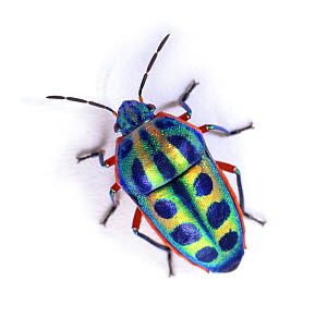 Rainbow Shield Bug (Calidea dregii) Endemic to Southern Africa.  -  Kim Taylor