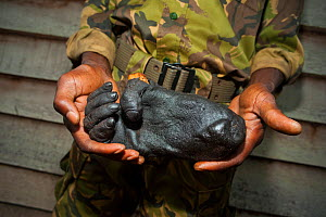 Severed Western Gorilla foot (Gorilla gorilla) held by eco-guard. Foot belonging to either an adult female, or 'blackback' male gorilla. Part of confiscated haul of bushmeat, smoked by hunters for sal...  -  Jabruson