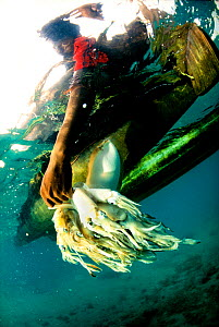 Young fisherman holding a catch of Indian Squid (Loligo / Uroteuthis duvaucelli) underwater to keep them fresh until ready for delivery to the fish market in Shimoni on the south coast of Kenya, Febru... - Jabruson