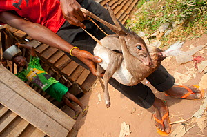 Blue Duiker (Cephalophus monticola) held in hands of boy, soon to be prepared for cooking as another boy stands in the background with cooking pot. Passing trade on the main road linking Bayanga with... - Jabruson