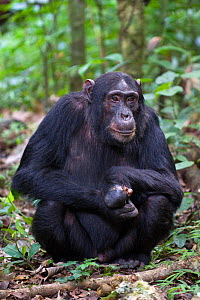 Chimpanzee (Pan troglodytes) young male with snare injury on hand, sitting in tropical forest, Western Uganda  -  Suzi Eszterhas