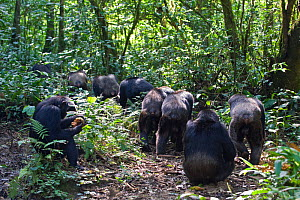 Chimpanzee (Pan troglodytes) group out on hunting patrol, in tropical forest, Western Uganda  -  Suzi Eszterhas