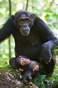 Chimpanzee (Pan troglodytes) mother with 4 month infant resting on her foot, tropical forest, Western Uganda  -  Suzi Eszterhas