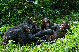 Chimpanzee (Pan troglodytes) mother grooming her juvenile offspring (with her 4 month infant and older baby belonging to other mother) in tropical forest, Western Uganda  -  Suzi Eszterhas
