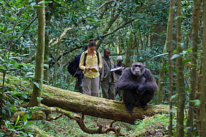 Researcher and field assistant team, observing male chimpanzee (Pan troglodytes) in tropical forest, Western Uganda. No release available.  -  Suzi Eszterhas