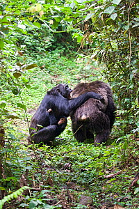 Chimpanzee (Pan troglodytes) female biting male after bout of aggression in group, tropical forest, Western Uganda  -  Suzi Eszterhas