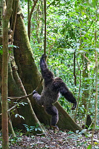 Chimpanzee (Pan troglodytes) large male coming down from tree holding liana, tropical forest, Western Uganda - Suzi Eszterhas