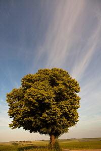 Small leaved lime tree (Tilia cordata) with cirrus clouds, between the Ardennes and Aisne, France, May - Pascal Tordeux