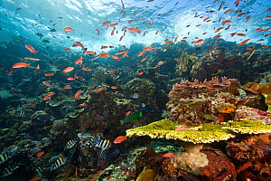 Schooling fish around healthy reef system, Castle Rock, Komodo National Park, Indonesia. - Michele Westmorland