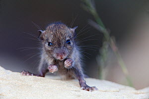 Black Rat (Rattus rattus) young. Introduced species on Maria Magdalena Island, Marias Islands Biosphere Reserve, Gulf of California, Mexico, September. - Claudio Contreras