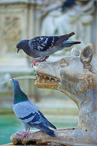Feral Pigeon (Columba livia) drinking from Fonte Gaia (Fountain of Joy). Piazza del Campo, Sienna, Italy, September. - Guy Edwardes