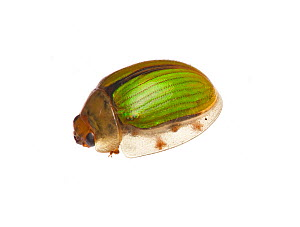 Tortoise Beetle (Chrysomelidae), Victoria, Australia, January. meetyourneighbours.net project  -  MYN / John Tiddy