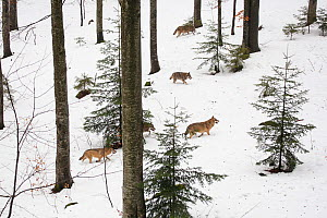 Wolf (Canis lupus) pack running in deep snow, captive in enclosure of the Bavarian Forest National Park, Germany, February  -  Florian Möllers