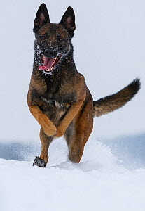 A Malinois / Belgian Shepherd police dog 'Mia' owned by German police officer and dog handler, playing in the snow.  Germany  -  Florian Möllers