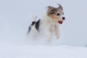 'Jogi', a Jack Russell Terrier cross breed, male playing in the snow.  Germany - Florian Möllers
