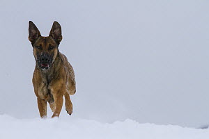 Malinois or Belgian Shepherd dog 'Floyd',  an 18 months male, a future guard dog with the German police, playing in the snow.  Germany  -  Florian Möllers