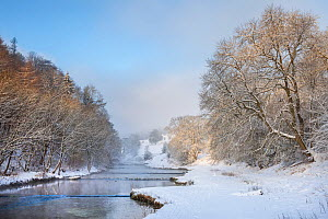 Ash Trees (Fraxinus excelsior) flanking the River Lathkill that flows through Lathkill Dale SSSI National Nature Reserve, Peak District National Park, Derbyshire, UK, January.  -  Alex Hyde