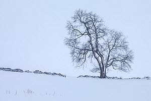 Ash tree (Fraxinus excelsior) on field boundary in snow near Bonsall village, Peak District National Park, Derbyshire, UK. January.  -  Alex Hyde