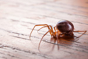 False Black Widow (Steatoda nobilis), female an invasive species to the UK. The false widow has been established in the UK for over 100 years, particularly around ports on the south coast of England w... - Alex Hyde