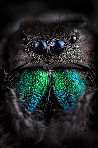 Regal Jumping Spider (Phidippus regius) male, close-up showing irridescent mandibles. Captive. Endemic to North America.  -  Alex Hyde